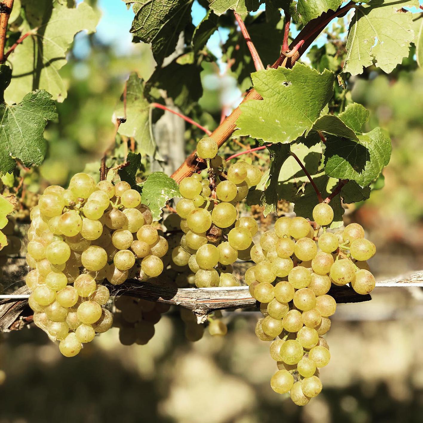 Ash Ridge Winery grapes